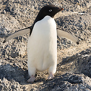 Adelie Penguin at Cape Royds.