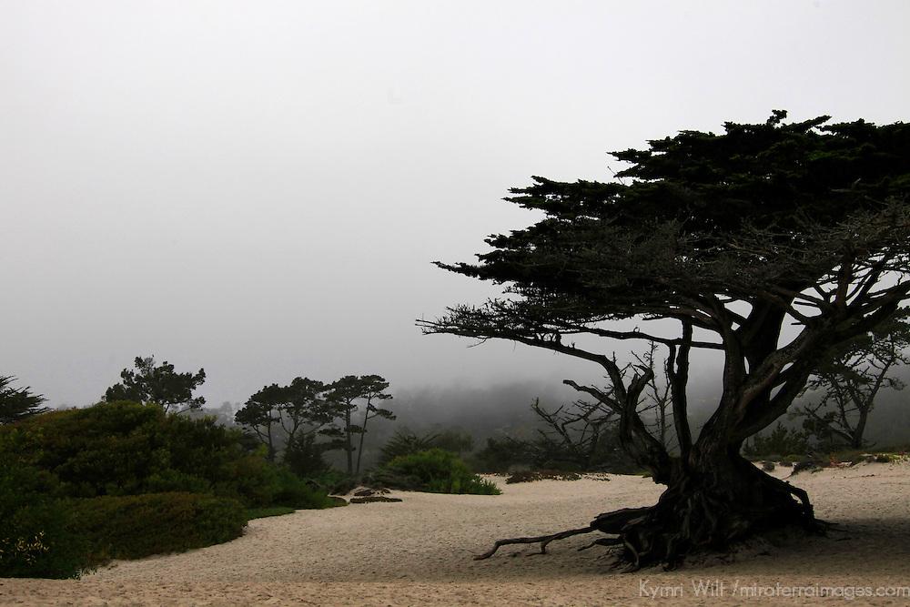USA, California, Carmel by the Sea. Coastal Trees of Carmel by the Sea.