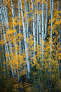 Aspens in autumn. Ohio Pass near Gunnison, Colorado.