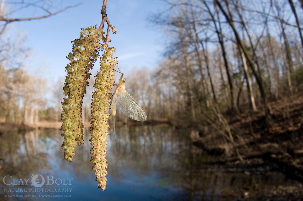 Mayfly, South Carolina, Spring