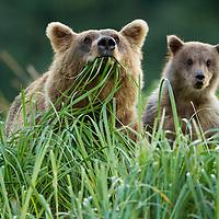 USA, Alaska, Katmai National Park, Grizzly Bear Sow(Ursus arctos) feeding in meadow grass with spring cub along Geographic Harbor