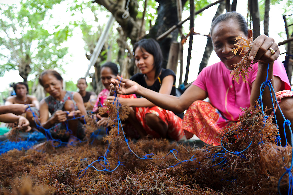Women harvesting sea weed for agar agar at a small village, Ujung Baji, Takalar, Sulawesi, Indonesia.
