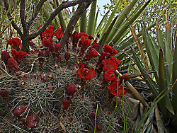 Scarlet Hedgehog Cactus hidden within a nook of yucca.