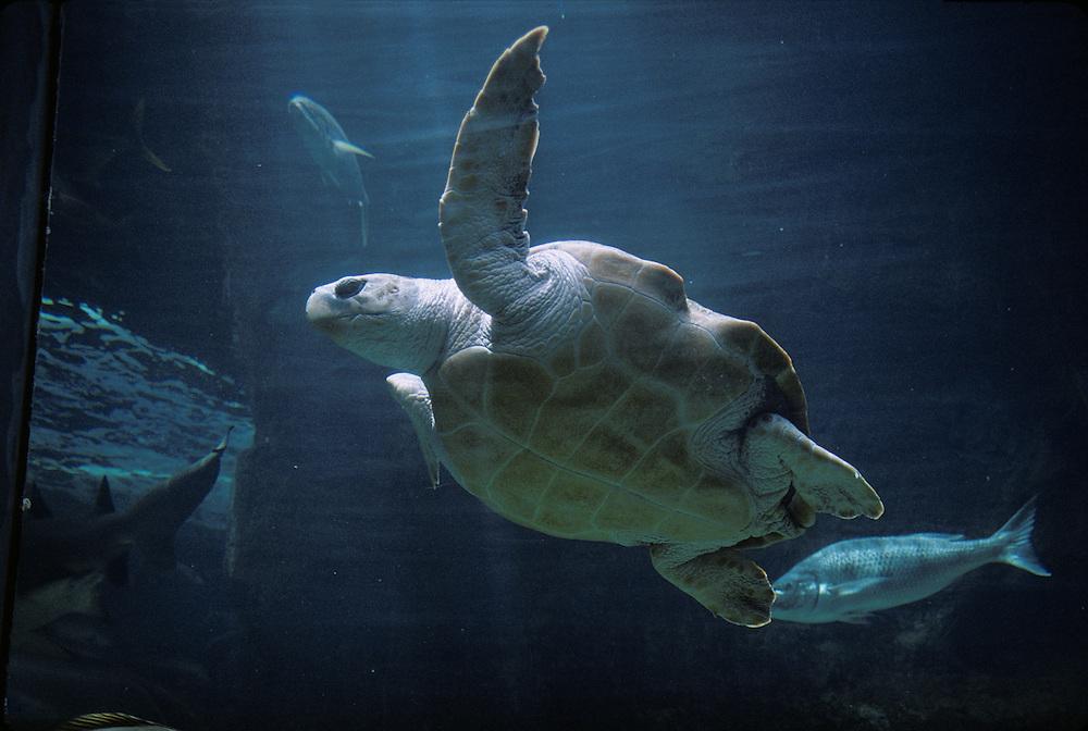 South Africa, Cape Town, Leatherback Turtle (Dermochelys coriacea) swimming inside Two Oceans Aquarium