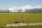 Red Fox, Vulpes fulva, on log, ,Hallo Glacier in distance, Katmai National Park, Alaska