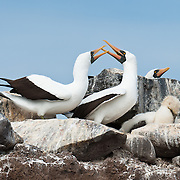 A Nazca Booby (Sula granti) roosts on Española (Hood) Island, the oldest of the Galapagos Islands, which are a province of Ecuador, South America. The Nazca Booby is found in the eastern Pacific Ocean, namely on the Galápagos Islands and Clipperton Island. The Revillagigedo Islands off Baja California possibly constitute its northeasternmost limit of breeding range. It was formerly regarded as a subspecies of the Masked Booby but the Nazca Booby is now recognized as a separate species differing in ecology, morphology, and DNA. The Nazca Booby co-occurs with the Masked Booby on Clipperton Island, where they may rarely hybridize.  Two eggs are laid so that one remains insurance in case the other gets destroyed or eaten, or the chick dies soon after hatching, which often occurs as one chick out-competes the other.