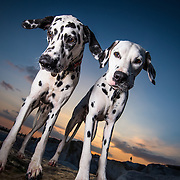 Utility dogs
