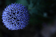 Botanicals by Color:  Purple and Blue