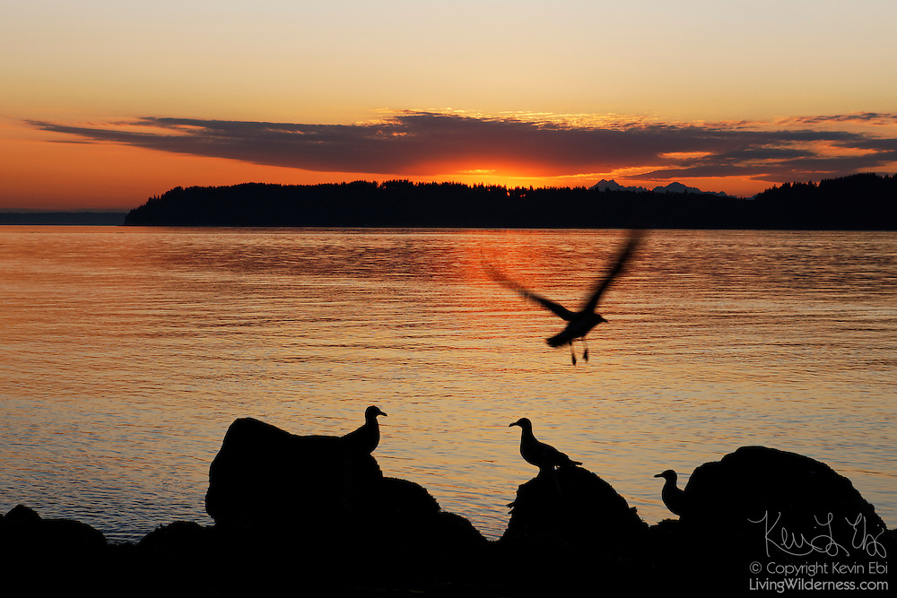 Several gulls line the shore of Puget Sound at Mukilteo, Washington, as the sun sets behind the Olympic Mountains.