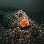 St Abbs Scotland gully anemone
