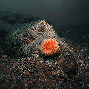 St Abbs Scotland gully anemone