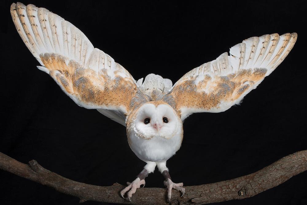Barn Owl (Tyto alba); Captive