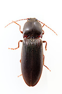 Click Beetle (Hemicrepidius memnonius)<br /> United States: Alabama: Tuscaloosa Co.<br /> Tulip Tree Springs off Echola Rd.; Elrod<br /> 3-Jul-2016<br /> J.C. Abbott #2843 &amp; K.K. Abbott