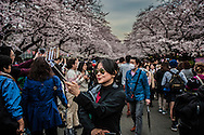 """A lucky tourist snaps a selfie amidst the crowd at Ueno Park, because the opening of the """"sakura"""", cherry blossoms, is notoriously unpredictable.  I am often asked, when is the best time to book a trip to Japan to see the cherry blossoms.  Generally they open at the end of March  but are completely dependent of the changeable spring weather in Japan.  The blossoms will not open if it is colder than 10C (50F).  This year the blossoms began to open as a cold snap set in, completely halting the blossoms opening for a week.  The fragile blossoms generally last a week to 10 days, depending on how much rain and wind which can pull down pollenated blossoms in a single day.  Ueno Park, Tokyo, Japan."""