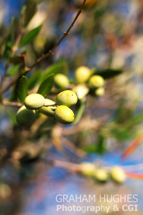 Close up of olives on Branch, Italy.