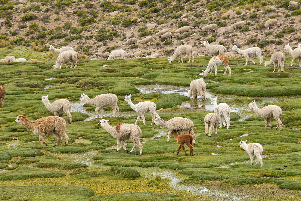 South America,Peru, Altiplano, Alpaca herd grazing,