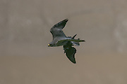 Peregrine falcon adult (Falco peregrinus) flying back to its eyrie with a fresh pigeon kill to feed to its offspring.