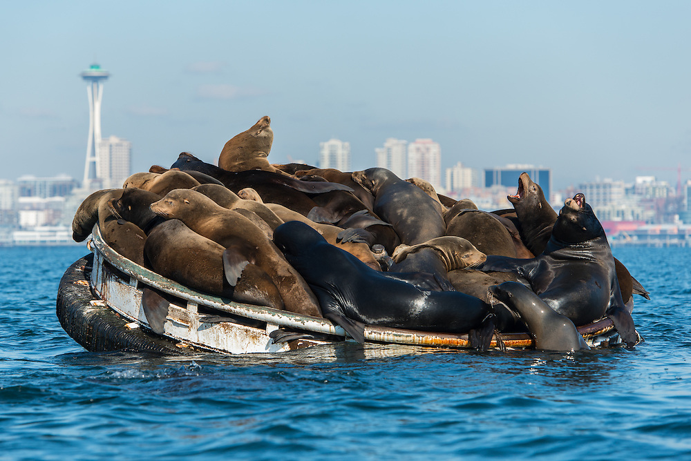 Sea-Lions-Seattle-048.jpg
