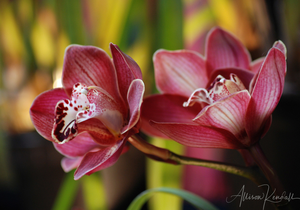 Cymbidium Orchid Colors Cymbidium Orchid Flowers