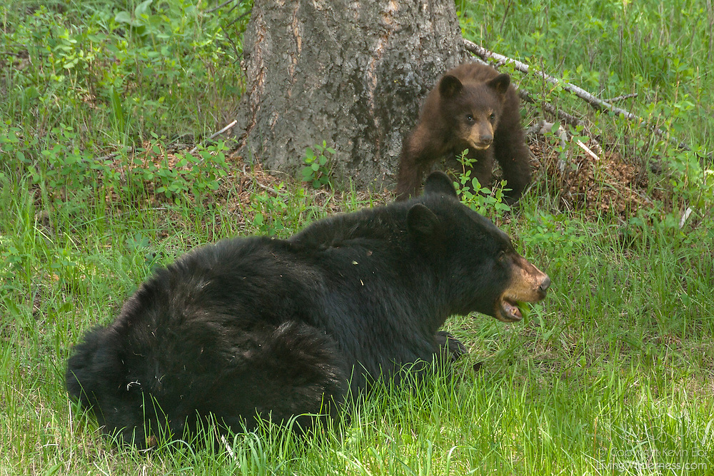 A black bear cub (Ursus americanus) watches its mother feed on grass in a forested area of Yellowstone National Park, Wyoming. The black bear is the smallest, yet most widely distributed, bear species in North America.