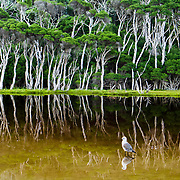 """A sea bird reflects in Tidal River at Wilson's Promontory National Park in the Gippsland region of Victoria, Australia. Natural tannins leach from decomposing vegetation and turn the water brown. """"The Prom"""" offers natural estuaries, cool fern gullies, magnificent and secluded beaches, striking rock formations, and abundant wildlife. Drive two hours from Melbourne to reach Wilson's Promontory. Renting a camper van is a great way to see Australia with """"no worries"""" about booking a bed. One night in the campground, our camper van rocked us awake in what we though was an earthquake. The rocking soon stopped and the dark shape of a wombat (a marsupial """"bear"""") wandered off into the night from underneath the van, where he had been licking our tasty sink drain! Around the campground, we were also delighted to see wallabies and the Common Brushtail Possum. Visitors also commonly see echidnas, koalas, bats and sugar-gliders. Published in """"Light Travel: Photography on the Go"""" book by Tom Dempsey 2009, 2010."""