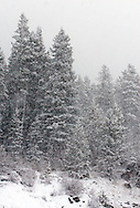 During a heavy blizzard in the Rocky Mountains, everything is obscured but the closest pine trees.
