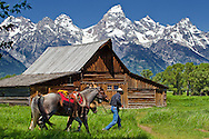 Teton National Park- A cowboy and his horses travel past an old rustic barn along Mormon Row as the eastern slope of the Grand Teton range is seen at Teton National Park in Wyoming. Colin E. Braley/Wild West-Media