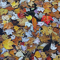 I recently explored the banks of a local reservoir near Southborough in Worcester County and found this beautiful accumulation of fallen leaves at the edge of the lake. It took a while to identify a pleasing pattern and composition where a couple of leaves stood out in color and size. I finally succeeded in compiling an Autumn Mosaic. <br />