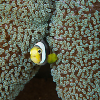 Saddleback anemonefish, Amphiprion polymnus,  in anemone, Manado, Sulawesi, Indonesia