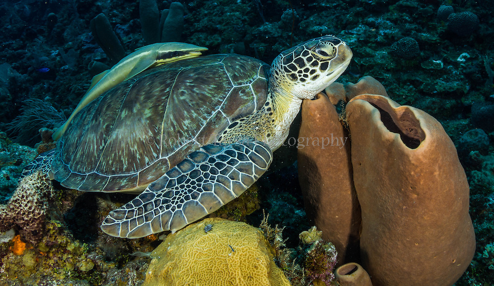 Photograph of an Atlantic green sea turtle with a remoras attached to its shell resting on a barrel sponge.