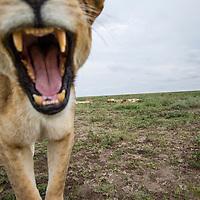 Tanzania, Ngorongoro Conservation Area, Ndutu Plains, Remote camera view of Lioness (Panthera leo) opening mouth and displaying fangs on savanna