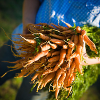 8/9/11 - Springfield, MO: Urban Roots Farm owner Melissa Millsap with one of their top veggies of the season, carrots. These bundles will go for $2 a bunch as the farmer's market. In addition to selling to market, URF also sells to local groceries & restaurants. In the coming fall of 2011 they will offer as CSA of their produce to 60 customers for around $540 which will buy about a half dozen items weekly.