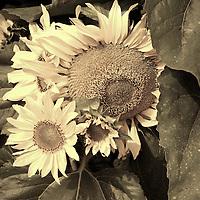 Sunflowers in a field.
