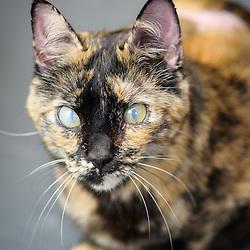 Gracie - Tortoise Cat