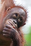 Young Bornean Orangutan with mouth full, Pongo pygmaeus morio, Orang Utan Sanctuary Sepilok, Sabah, Borneo