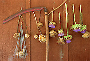 Artichoke flowers hang to dry on the side of a barn..A larger file  of this image may be available.