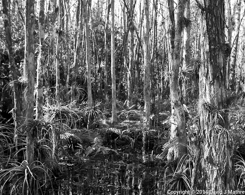 Swamp walk with Kristen and Angela in the Everglades behind  Clyde Butcher's Big Cyprus Gallery. Image taken with a Leica X2 camera (ISO 100, 24 mm, f/4, 1/80 sec).