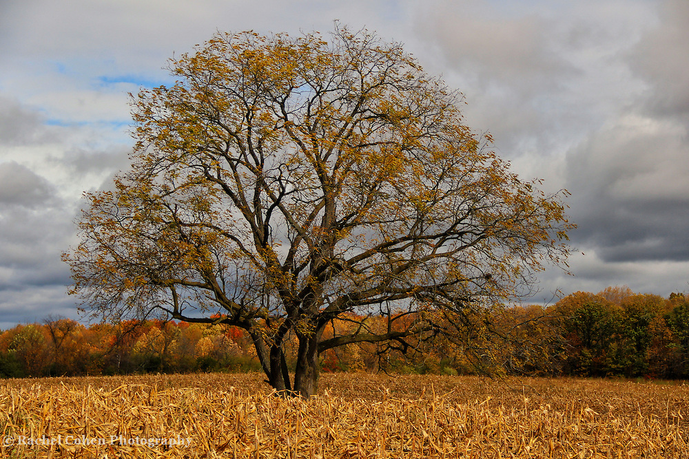 &quot;Loner&quot;<br /> <br /> The beauty of a lone tree at autumns end. Most of the foliage is gone, revealing the pure beauty of the tree itself, all alone in the middle of a harvested cornfield!<br /> <br /> Autumn Landscapes by Rachel Cohen