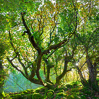 Irish Woodlands