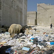 As sheep and lambs graze through garbage, Emad Al-kasid and his father Malik Al-kasid, leave the family's apartment in the Iraqi area of Damascus, Syria, Wednesday, July 16, 2003. ..Al-kasid has been planning has been planning the trip home to Nasiriyah, Iraq, over the last year. He is visiting his immediate family is in Damascus, Syria, as hundreds of thousands of Iraqi Shiite settled in Syria after the Gulf War and their uprising against Saddam Hussein in 1991.