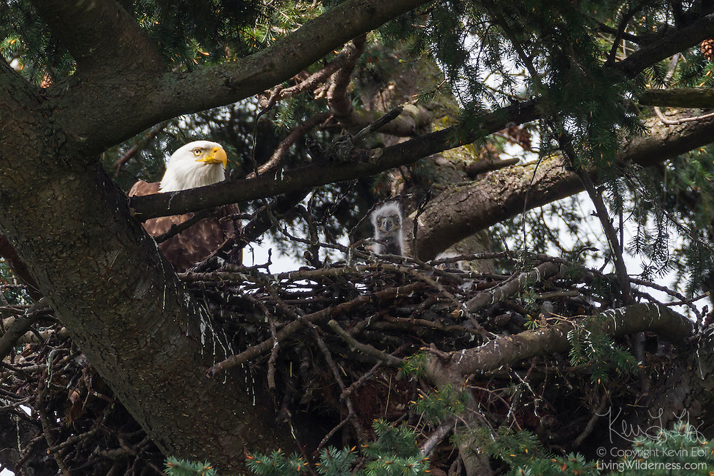 An adult bald eagle (Haliaeetus leucocephalus) watches the two young eaglets on its nest in Heritage Park, Kirkland, Washington. The young eaglets in this image are approximately two weeks old.