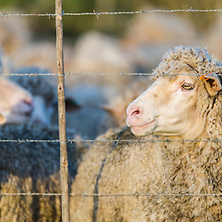 Flock of Merino Sheep behind a farm fence and waiting to be sheered for their wool, Agulhas Plain, Overberg, Western Cape, South Africa