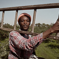 <b>Photograph by Paul Grossman:</b><br>Most of the pickers come from Jamaica or Mexico and stay for the harvest season in trailers on the farm owners land.