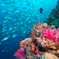 Shoal of Bigeye Trevally, Caranx sexfasciatus, swimming past a reef wall, Palau islands, Pacific Ocean,