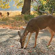 Grazing Deer Meadow Edge - Yosemite Valley