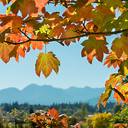 On the next to last day of September on the Olympic Peninsula, the leaves are changing. No snow in the mountains yet, and it is almost 70 degrees and sunny! The mountains had only about 10% of normal snowpack last winter and locals are praying for a normal winter this year. On the top of the peaks in Olympic National Park​, seen in the distance here, the mountains sometimes get over 300 inches of snow and as much as 600!