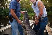 Julius Gaudet, 62, (L) and Rebel (R) hold up the largest gator they bagged on September 19, 2009. It came in at 9 feet and 11 inches long.