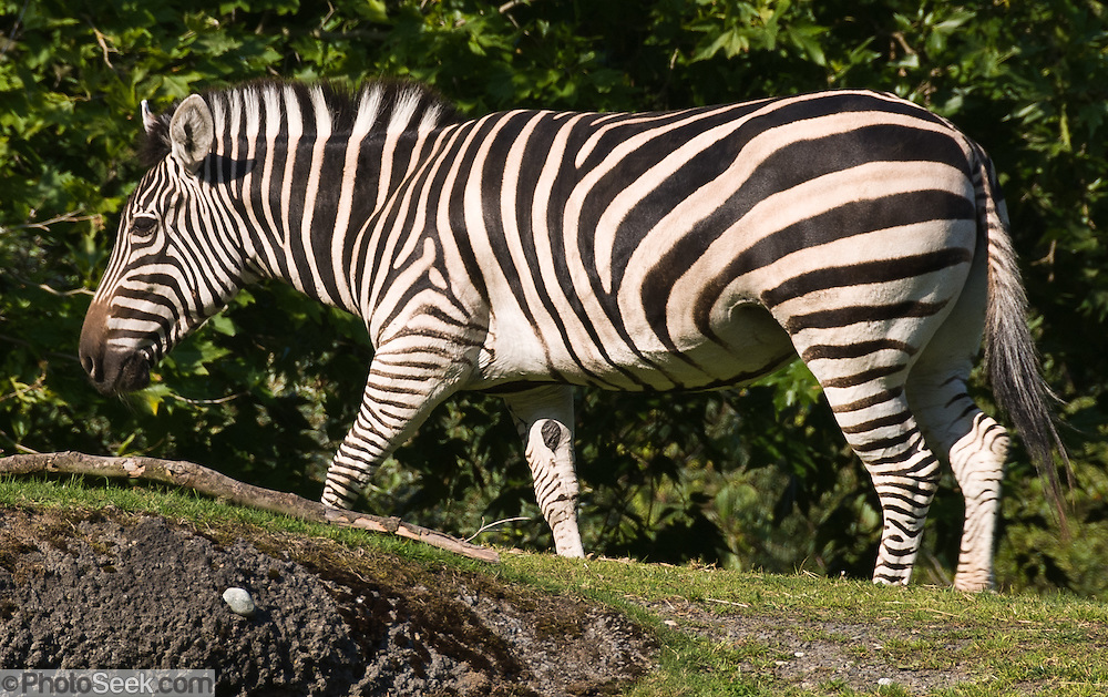 The Plains zebra (or Punda milia in Swahili) (Latin name: Equus quagga, formerly Equus burchelli), also known as the Common zebra or the Burchell's zebra, is the most common and geographically widespread form of zebra, once being found from the south of Ethiopia right through east Africa as far south as Angola and eastern South Africa. The Plains Zebra is much less numerous than it once was, because of human activities such as hunting it for its meat and hide, as well as encroachment on much of its former habitat, but it remains common in game reserves. Photographed in the Woodland Park Zoo, Seattle, Washington.