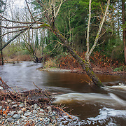During a flood, North Creek flows around a tree that's partially submerged by the high water in Bothell, Washington