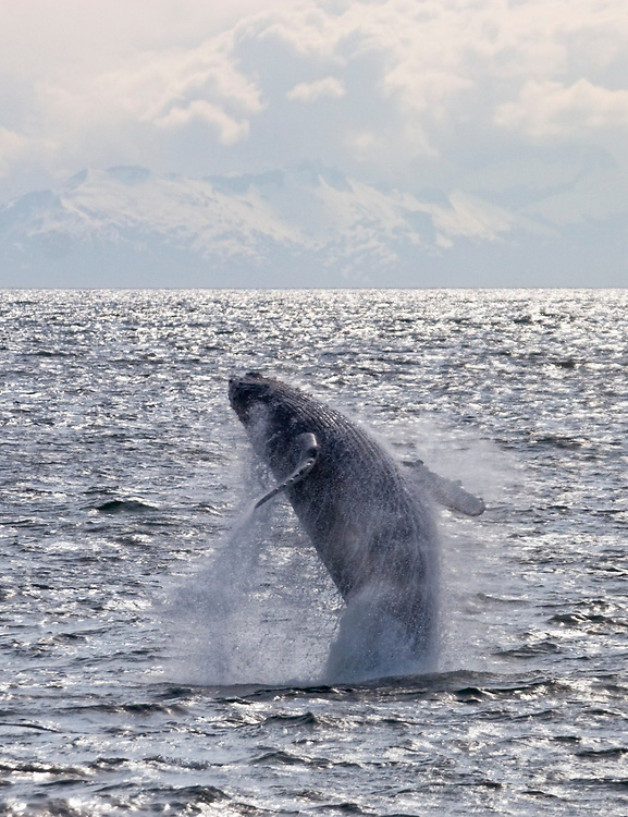 A humpback whale (Megaptera novaeangliae) twists as it breaches with the mountains in the background in Frederick Sound.